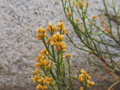 Desert Baccharis  (Baccharis sergiloides) ASTERACEAE