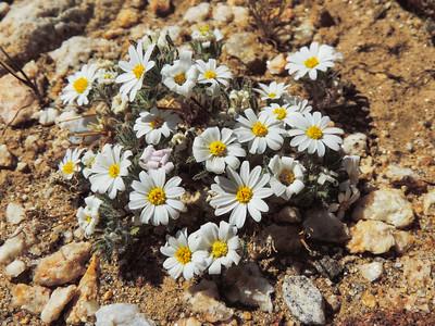 Desert Star (Monoptilon bellioides) ASTERACEAE