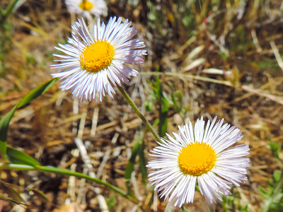 Diffuse Daisy  (Erigeron divergens) ASTERACEAE