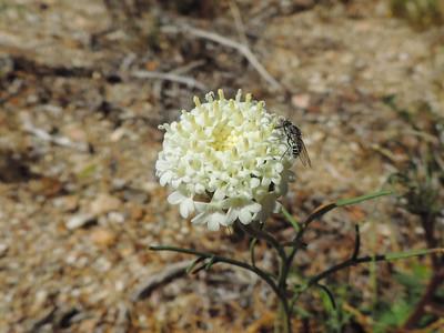 Fremont's Pincushion (Chaenactis fremontii)