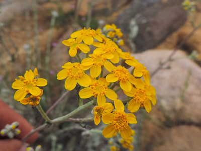 Golden Yarrow  (Eriophyllum confertiflorum) ASTERACEAE