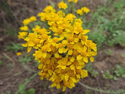 Golden Yarrow (Eriophyllum confertiflorum)