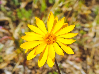Golden-rayed Pentachaeta (Pentachaeta aurea)