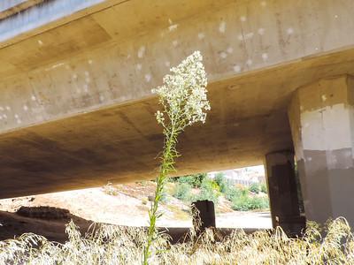 Horseweed (Erigeron canadensis) ASTERACEAE