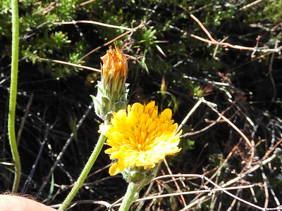 Large Flowered Agoseris (Agoseris grandiflora var. grandiflora) ASTERACEAE