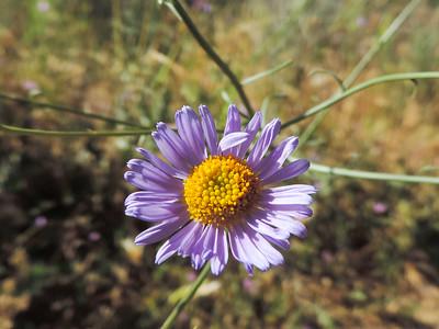 Leafy Daisy (Erigeron foliosus var. foliosu)ASTERACEAE