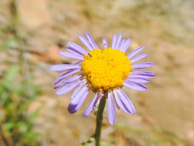 Leafy Daisy  (Erigeron foliosus var. foliosus) ASTERACEAE