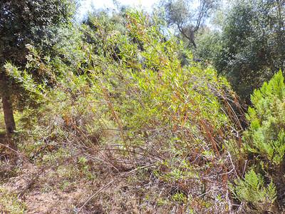 Mule-fat  (Baccharis salicifolia) ASTERACEAE