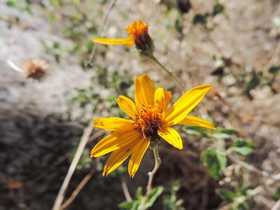 Parish's Goldeneye (Bahiopsis parishii) ASTERACEAE