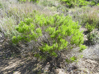 Pine Goldenbush (Ericameria pinifolia) ASTERACEAE