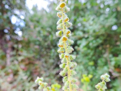 Ragweed (Ambrosia psilostachya) ASTERACEAE