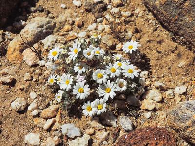 Rock-daisy  (Perityle emoryi) ASTERACEAE