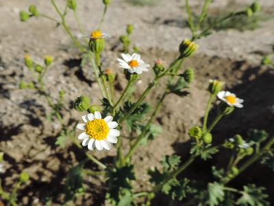 Rock-daisy (Perityle emoryi)