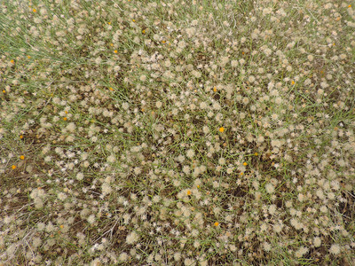 Sweetbush (Bebbia juncea)