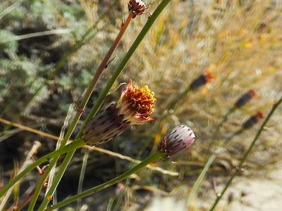San Felipe Dogweed (Adenophyllum porophylloides) ASTERACEAE