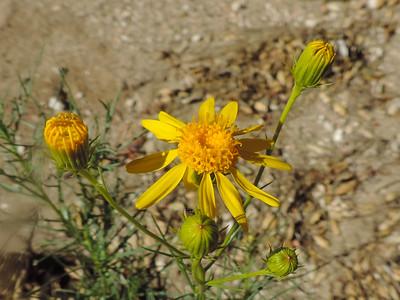 Shrubby Butterweed (Senecio flaccidus)