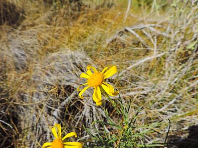 Shrubby Butterweed (Senecio flaccidus) ASTERACEAE