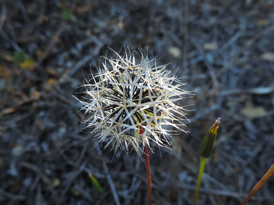 Silverpuffs (Uropappus lindleyi)
