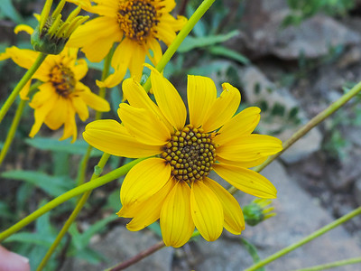 Slender Sunflower  (Helianthus gracilentus) ASTERACEAE