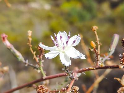 Slender Wreathplant (Stephanomeria exigua ssp. deanei) ASTERACEAE