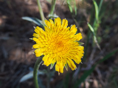 Spear-leaf Mountain-dandelion  (Agoseris retrorsa) ASTERACEAE