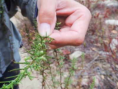 Tarragon (Artemisia dracunculus) ASTERACEAE