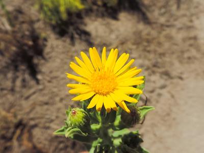 Telegraph Weed  (Heterotheca grandiflora) ASTERACEAE
