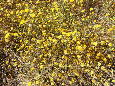 Valley Lessingia (Lessingia glandulifera var. glandulifera) ASTERACEAE