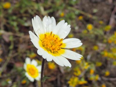 White Layia (Layia glandulosa) ASTERACEAE