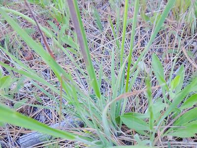 Woodland Agoseris (Agoseris heterophylla) ASTERACEAE