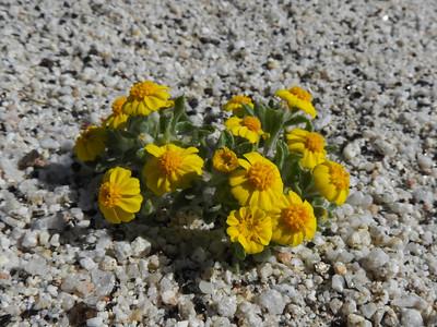 Woolly Easterbonnets (Eriophyllum wallacei) ASTERACEAE