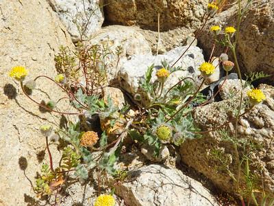 Yellowdome (Trichoptilium incisum) ASTERACEAE