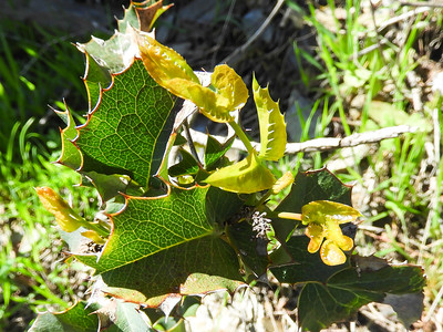 California Barberry (Berberis aquifolium) BERBERIDACEAE