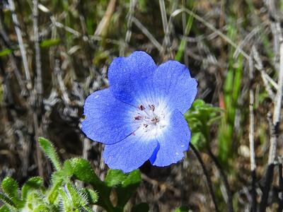 Baby Blue Eyes (Nemophila menziesii) BORAGINACEAE