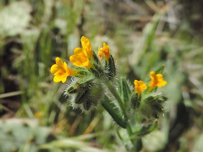 Rancher's Fiddleneck  (Amsinckia menziesii) BORAGINACEAE