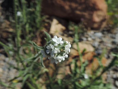 Forget-Me-Not (Cryptantha sp)