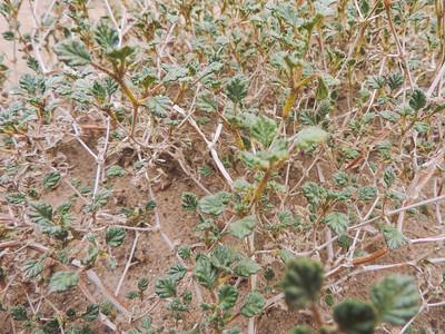 Palmer's Crinklemat (Tiquilia palmeri) BORAGINACEAE
