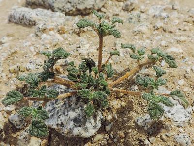 Plicate Coldenia  (Tiquilia plicata) BORAGINACEAE