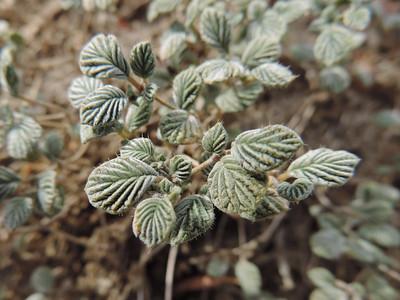 Plicate Coldenia (Tiquilia plicata)