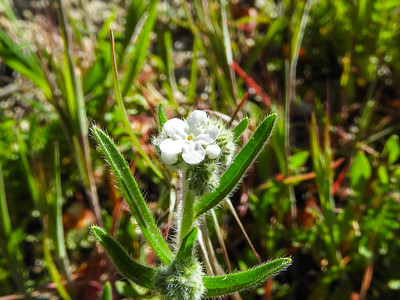 Popcorn Flower (Plagiobothrys sp.) BORAGINACEAE