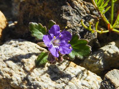 Notch Leaved Phacelia (Phacelia crenulata var. minutiflora) BORAGINACEAE