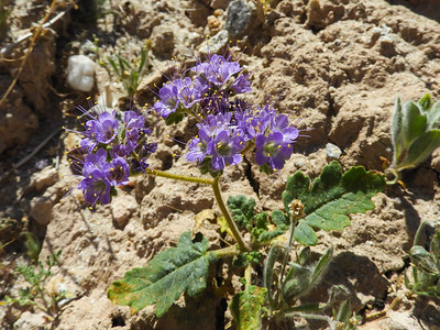 Notch-leaved Phacelia (Phacelia crenulata) BORAGINACEAE