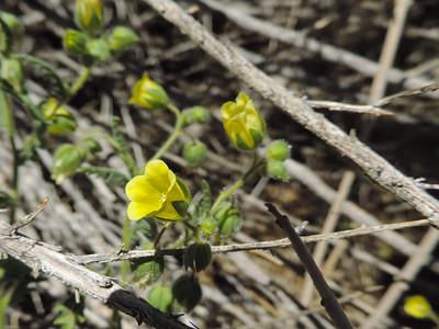 Whispering Bells (Emmenanthe penduliflora)