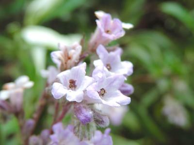 Yerba Santa (Eriodictyon crassifolium) BORAGINACEAE