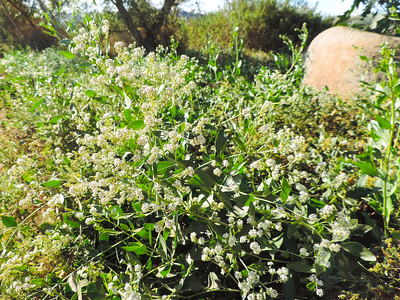 Perennial Peppergrass (Lepidium latifolium) BRASSICACEAE