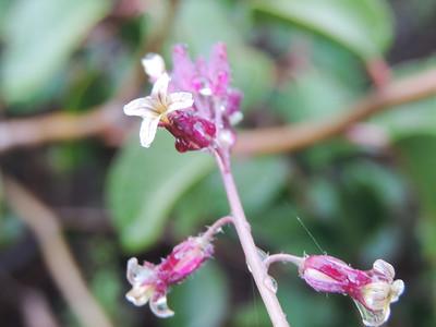Southern Jewelflower (Streptanthus campestris) BRASSICACEAE