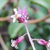 Southern Jewelflower (Streptanthus campestris)