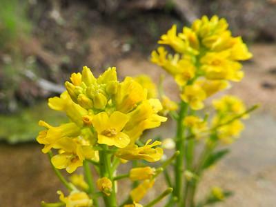 Winter Cress (Barbarea orthoceras) BRASSICACEAE