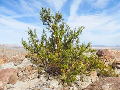 Elephant Tree  (Bursera microphylla) BURSERACEAE
