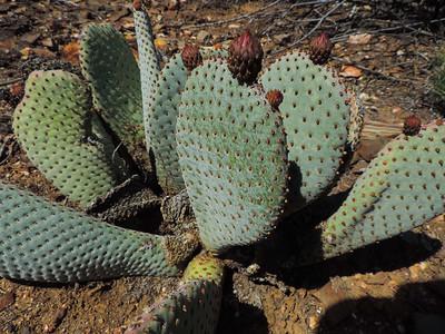 Beavertail Cactus  (Opuntia basilaris) CACTACEAE